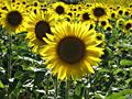 _sonnenblumen_in_provence_